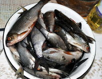 蟑螂鱼,新鲜的抓住 免版税库存照片