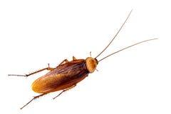 蟑螂,隔绝在白色背景 免版税库存图片