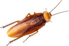 蟑螂,隔绝在白色背景 免版税图库摄影