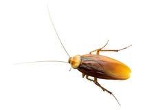 蟑螂,隔绝在白色背景 库存图片