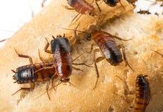 蟑螂-滔滔不绝lateralis 免版税库存图片