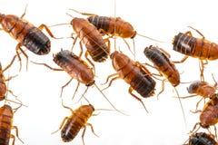 蟑螂-滔滔不绝lateralis 库存照片