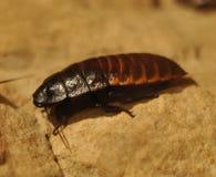 蟑螂 免版税图库摄影