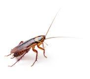 蟑螂 免版税库存照片