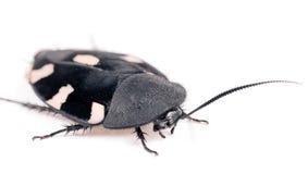 蟑螂Domino印地安人 库存照片