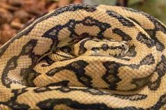 蟒蛇的眼睛 库存照片