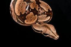 蟒蛇红色尾标 免版税图库摄影