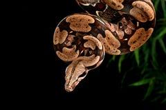 蟒蛇红色尾标 免版税库存图片