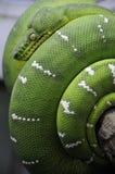 蟒蛇绿宝石结构树 库存图片