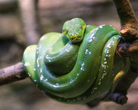蟒蛇绿宝石结构树 库存照片