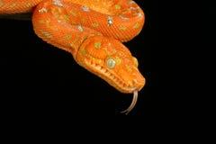 蟒蛇绿宝石结构树 免版税库存照片