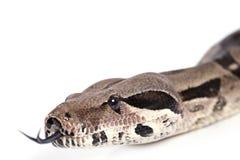 蟒蛇蛇特写镜头纵向  免版税库存图片