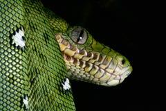 蟒蛇鲜绿色雨林爬行动物蛇蛇 库存图片