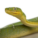 蟒蛇caninus corallus绿宝石结构树 库存照片