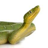 蟒蛇caninus corallus绿宝石结构树 免版税图库摄影