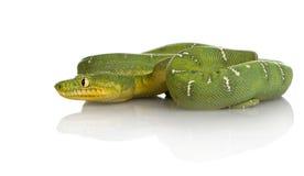 蟒蛇caninus corallus绿宝石结构树 图库摄影