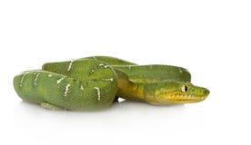 蟒蛇caninus corallus绿宝石结构树 库存图片
