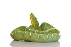 蟒蛇caninus corallus绿宝石结构树 免版税库存图片