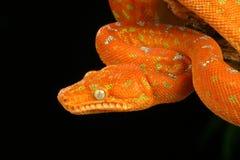蟒蛇caninus corallus绿宝石结构树 免版税库存照片