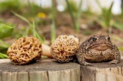 蟾蜍和羊肚菌蘑菇 免版税库存图片
