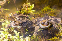 蟾蜍夫妇在水中 免版税库存图片