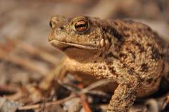 蟾蜍 在唤醒的春天期间的两栖动物 免版税库存图片