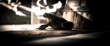 蟾蜍 免版税库存照片