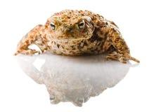 蟾蜍 免版税库存图片