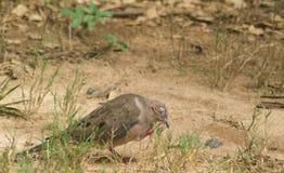 蠕动的鸽子眼睛 库存照片