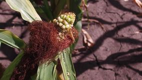 蠕虫是玉米的一条虫 麦地农业 玉米农厂绿草农业美国自然录影美国 免版税库存图片