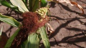 蠕虫是玉米的一条虫 麦地农业 玉米农厂绿草农业美国自然录影美国 免版税图库摄影