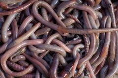 蠕虫 免版税库存照片