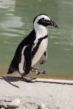 蠢企鹅demersus -非洲企鹅 库存照片