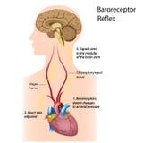 血压管理规定 图库摄影