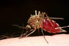 血液充分的蚊子 库存照片
