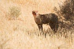 血液猎豹表面 库存照片