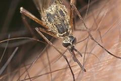 血液蚊子吮 图库摄影