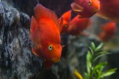 血液鹦鹉丽鱼科鱼知名作为血淋淋的鹦鹉和血液parro 库存图片