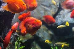 血液鹦鹉丽鱼科鱼知名作为血淋淋的鹦鹉和血液parro 免版税库存照片
