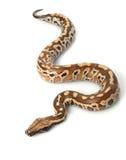 血液Python红色sumatran 图库摄影