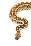 血液Python 免版税库存照片