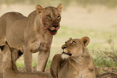 血淋淋的狮子对在卡拉哈里 免版税库存照片