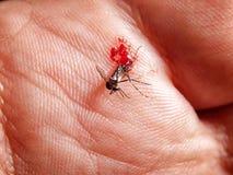 血淋淋的蚊子 免版税库存图片