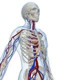 血管的系统 库存例证