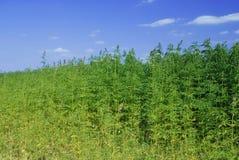 行业大麻 库存照片