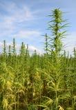 行业大麻 库存图片