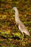 从行军的苍鹭 从亚洲的苍鹭 印地安池塘苍鹭, Ardeola grayii grayii,在自然沼泽栖所,斯里兰卡 在g的鸟 免版税库存照片