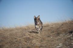 行动的愉快的澳大利亚牧羊人 免版税库存照片