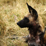 行动的非洲豺狗戒备 免版税库存图片