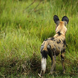 行动的非洲豺狗戒备 免版税库存照片